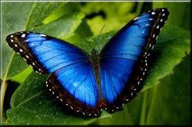 Papillon Bleu image