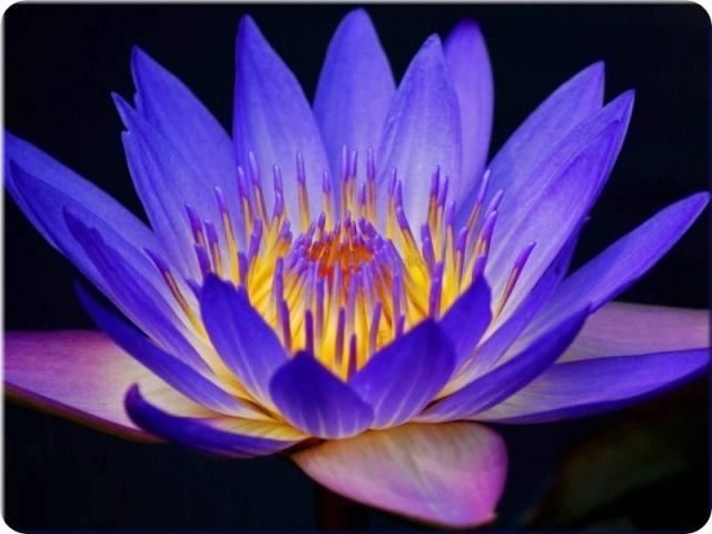 lotus-bleu-fleur-boutique-2